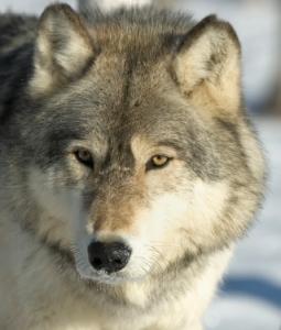 Portrait of a gray wolf in winter coat