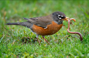 robin-with-worm